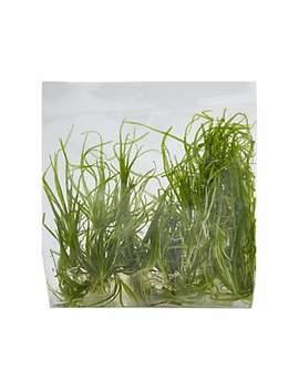 Echinodorus Tenellus   Tissue Culture Plant Echinodorus Tenellus   Tissue Culture Plant by Petco