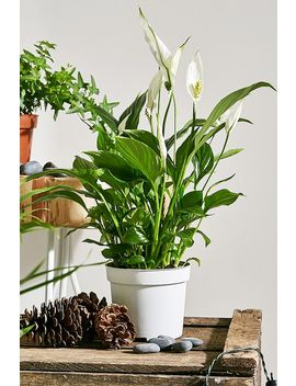 peace-lily-live-plant by urban-outfitters