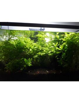 Water Wisteria   Great Beginner Aquarium Plant by Kijiji