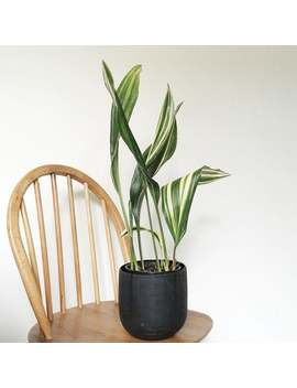 Variegated Aspidistra Elatior   Cast Iron Plant   1 Plants   1 To 2 Feet Tall   6 Leaves Or More   Ship In 1 Gal Pot by Etsy