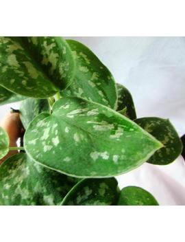 Bare Root Silver Satin Pothos by Etsy