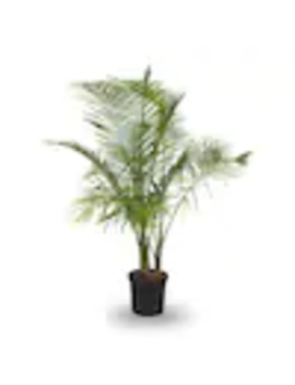3.75 Gallon Majesty Palm In Plastic Pot (L20955hp) by Lowe's