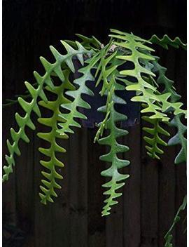 Epiphyllum Zig Zag Cactus by Etsy