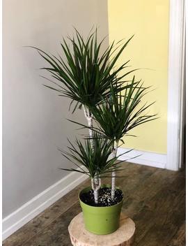 Dragon Plant   Dracaena Marginata   Live House Plant   Air Purifying Plant by Etsy