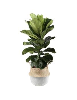 Ficus Lyrata, Fiddle Leaf Fig Floor Plant In 10 In. Grower Pot In Seagrass White Natural Basket by Costa Farms