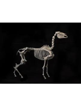 3 D Printed Horse Skeleton, Available In Multiple Sizes, Dui Assembly Kit   Made Of Abs Plastic (Same As Lego Bricks) by Etsy