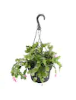 2 Quart Multicolor Christmas Cactus In Hanging Basket (L21216hp) by Lowe's