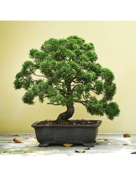 Grow Your Own Bonsai Tree by Men Kind