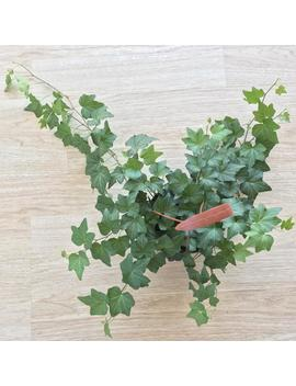 """English Ivy 'californi Green' Live Indoor Hanging House Plant Gift, 6"""" by Etsy"""