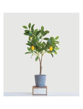 Lemon Tree In Pot by Bungalow Rose