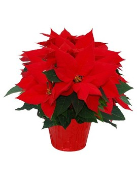 """6.5"""" Red Poinsettia Plant by Hill Country Nursery"""
