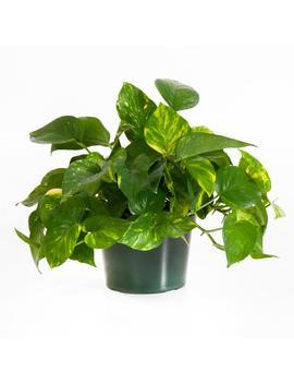 Golden Pothos In 6 In. Grower Pot by Home Depot