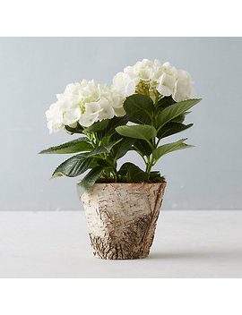 Glory Hydrangea, Birch Pot by Terrain
