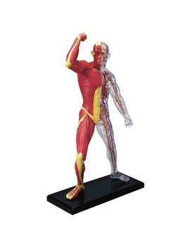 Famemaster 4 D Vision Human Muscle And Skeleton Anatomy Model by Fame Master