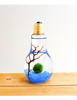 Bliss Gardens Marimo Moss Ball Light Bulb Water Terrarium / Blue Rocks / Great Gift / New Pet / Aquatic Plant by Bliss Gardens