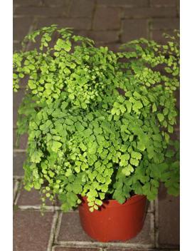 live-maidenhair-fern-aka-diantum-raddianum-live-plant-fit-1-gallon-pot by etsy