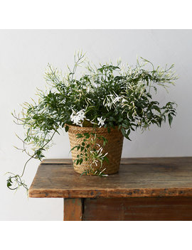 White Jasmine, Grass Pot by Terrain