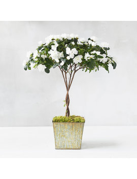 Potted Azalea Topiary by Terrain