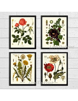 Botanical Flower Set Of 4 Art Prints Antique Beautiful Red Rose Poppy Large Black Hollyhock Dandelion Spring Summer Garden Home Room Wall Decor Unframed Koh by Amazon
